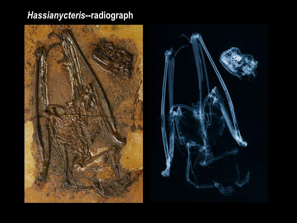 Hassianycteris --radiograph