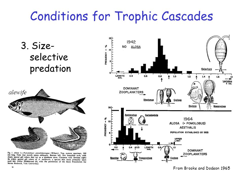 From Brooks and Dodson 1965 alewife Conditions for Trophic Cascades 3. Size- selective predation