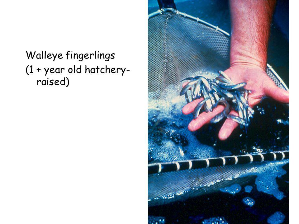 Walleye fingerlings (1 + year old hatchery- raised)