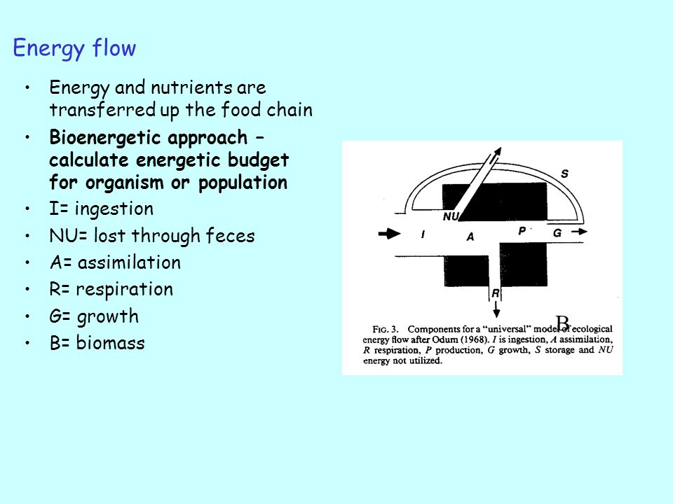 Energy flow Energy and nutrients are transferred up the food chain Bioenergetic approach – calculate energetic budget for organism or population I= ingestion NU= lost through feces A= assimilation R= respiration G= growth B= biomass B