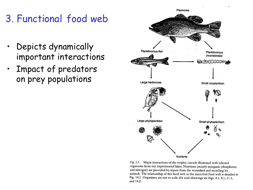 3. Functional food web Depicts dynamically important interactions Impact of predators on prey populations