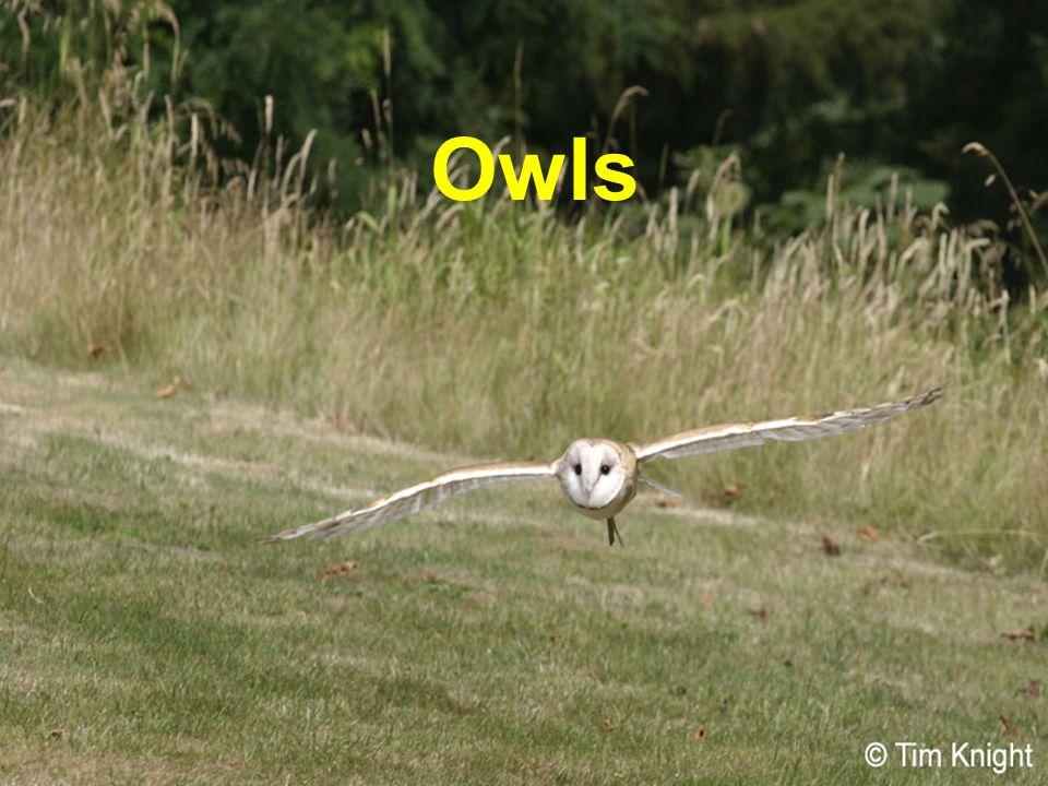 Western Screech Owl www.owlpages.comwww.owlpages.com w_screech4_dl.jpg