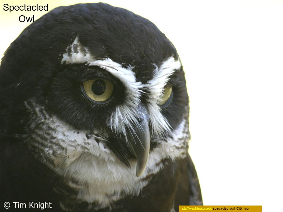 Spectacled Owl staff.washington.edustaff.washington.edu spectacled_owl_03tk-.jpg