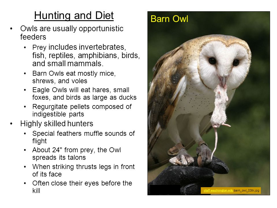 Hunting and Diet Owls are usually opportunistic feeders Prey includes invertebrates, fish, reptiles, amphibians, birds, and small mammals. Barn Owls e