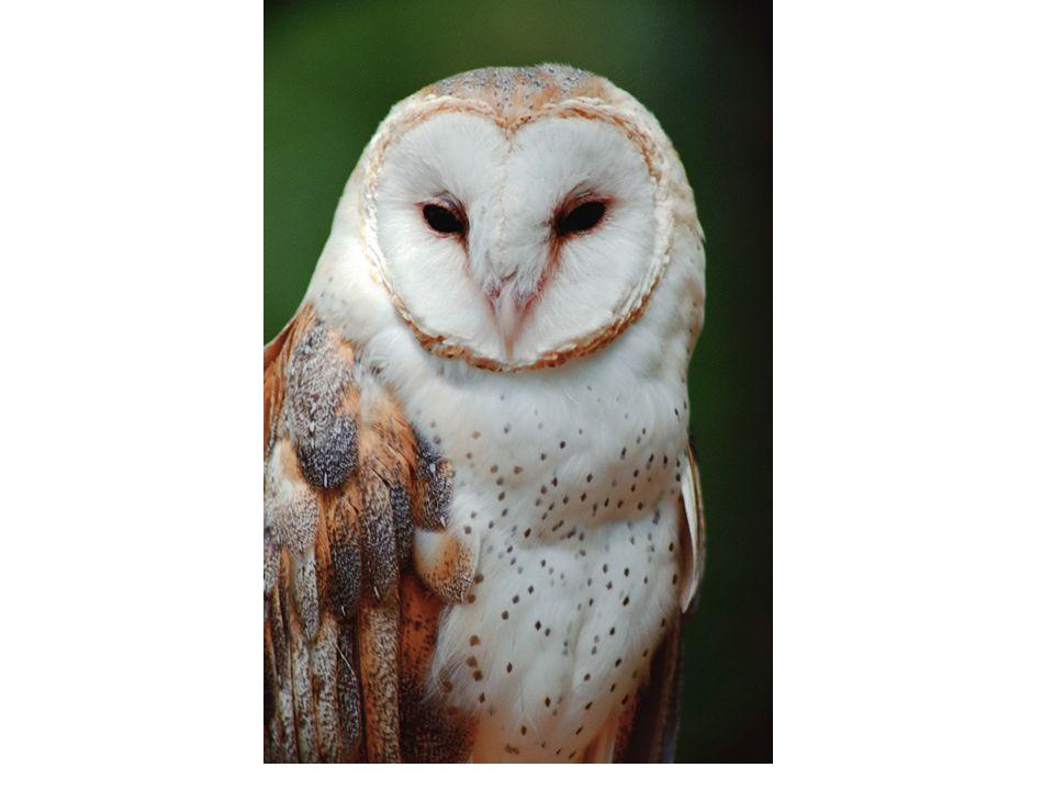 www.photo.net-snowywww.photo.net-snowy owl-puffed-2.4.jpg Snowy Owl