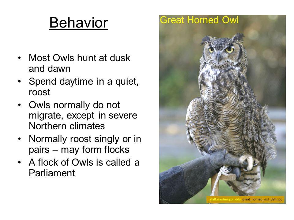 I can dance! [Burrowing Owl] owling.com burrowing11.jpg