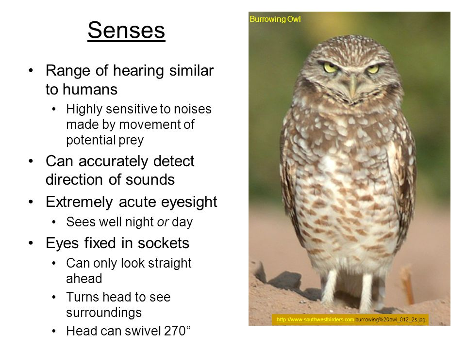 Senses Range of hearing similar to humans Highly sensitive to noises made by movement of potential prey Can accurately detect direction of sounds Extr