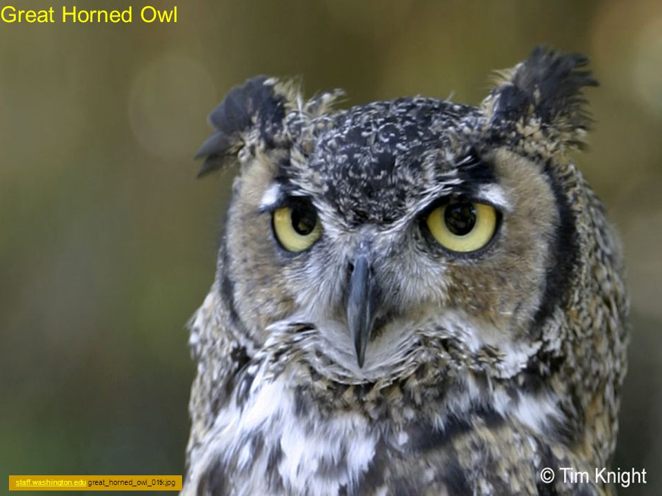 Owls have a large head and large eyes that face forwards (unlike other birds, whose eyes are on the sides of their head).