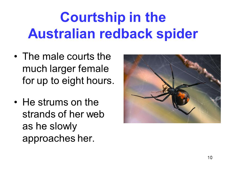 10 Courtship in the Australian redback spider The male courts the much larger female for up to eight hours. He strums on the strands of her web as he