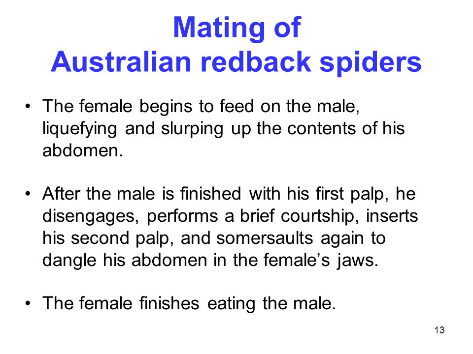13 Mating of Australian redback spiders The female begins to feed on the male, liquefying and slurping up the contents of his abdomen. After the male