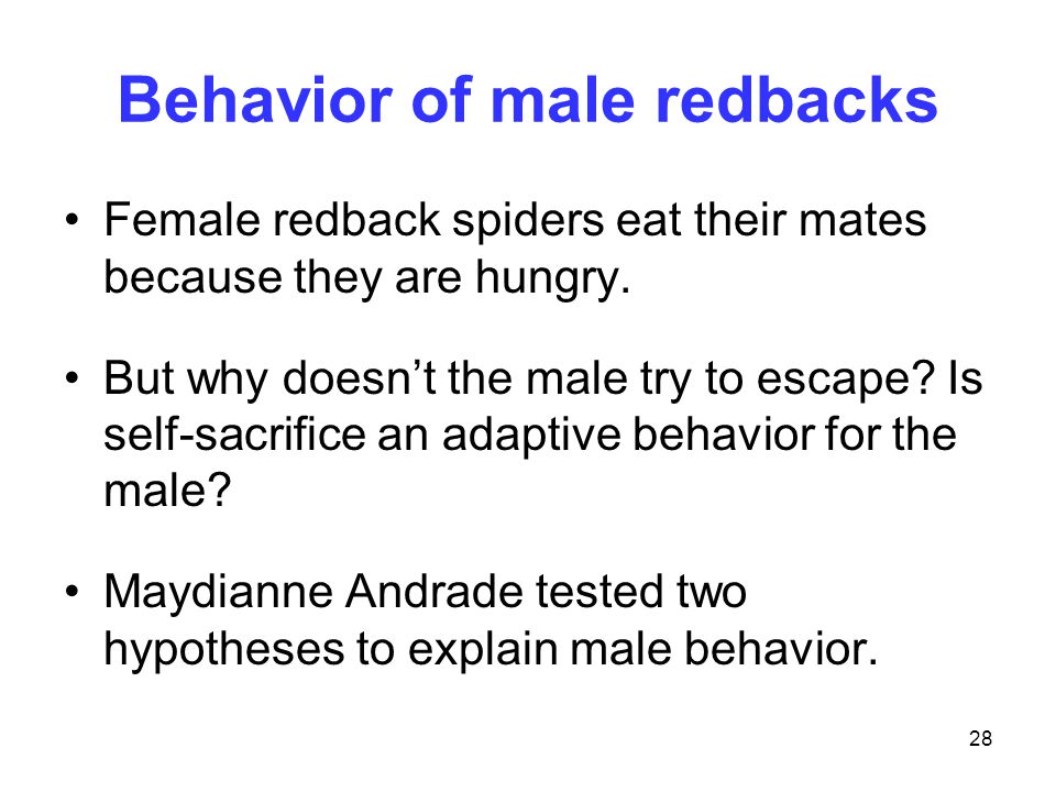 28 Behavior of male redbacks Female redback spiders eat their mates because they are hungry. But why doesn't the male try to escape? Is self-sacrifice