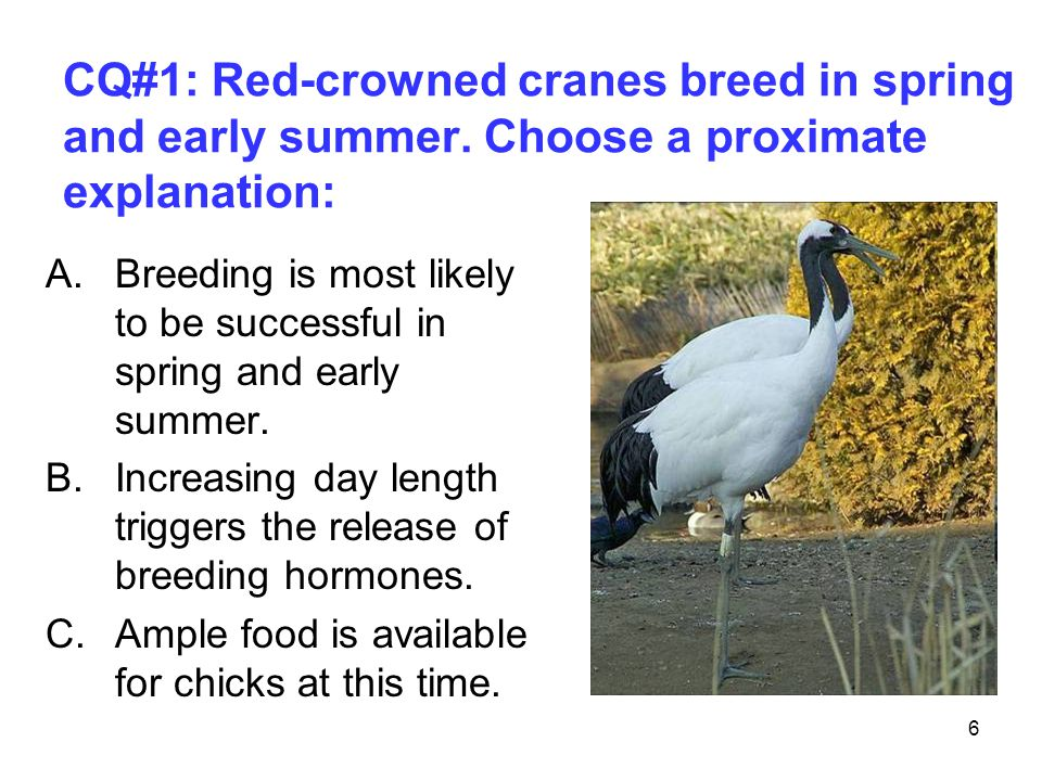6 CQ#1: Red-crowned cranes breed in spring and early summer. Choose a proximate explanation: A.Breeding is most likely to be successful in spring and