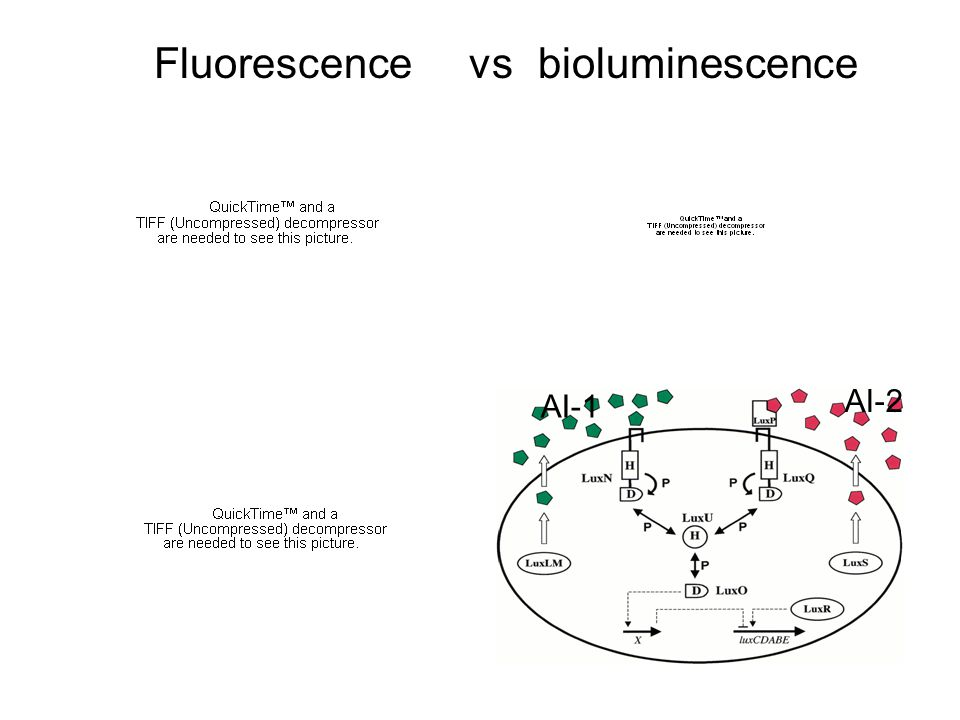 Fluorescence vs bioluminescence AI-2 AI-1