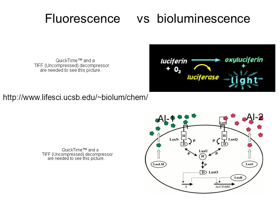 Fluorescence vs bioluminescence AI-2 AI-1 http://www.lifesci.ucsb.edu/~biolum/chem/