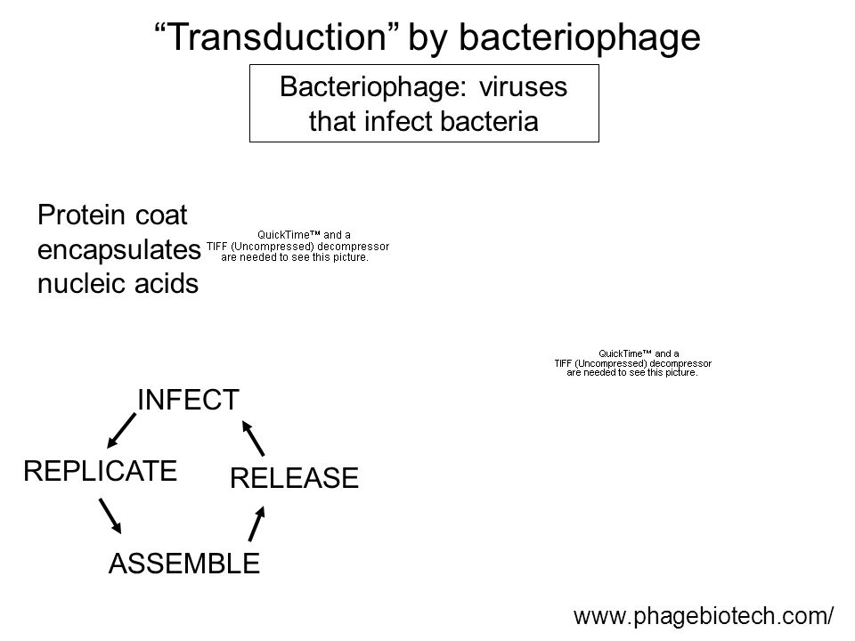 Transduction by bacteriophage www.phagebiotech.com/ Protein coat encapsulates nucleic acids Bacteriophage: viruses that infect bacteria INFECT REPLICATE ASSEMBLE RELEASE
