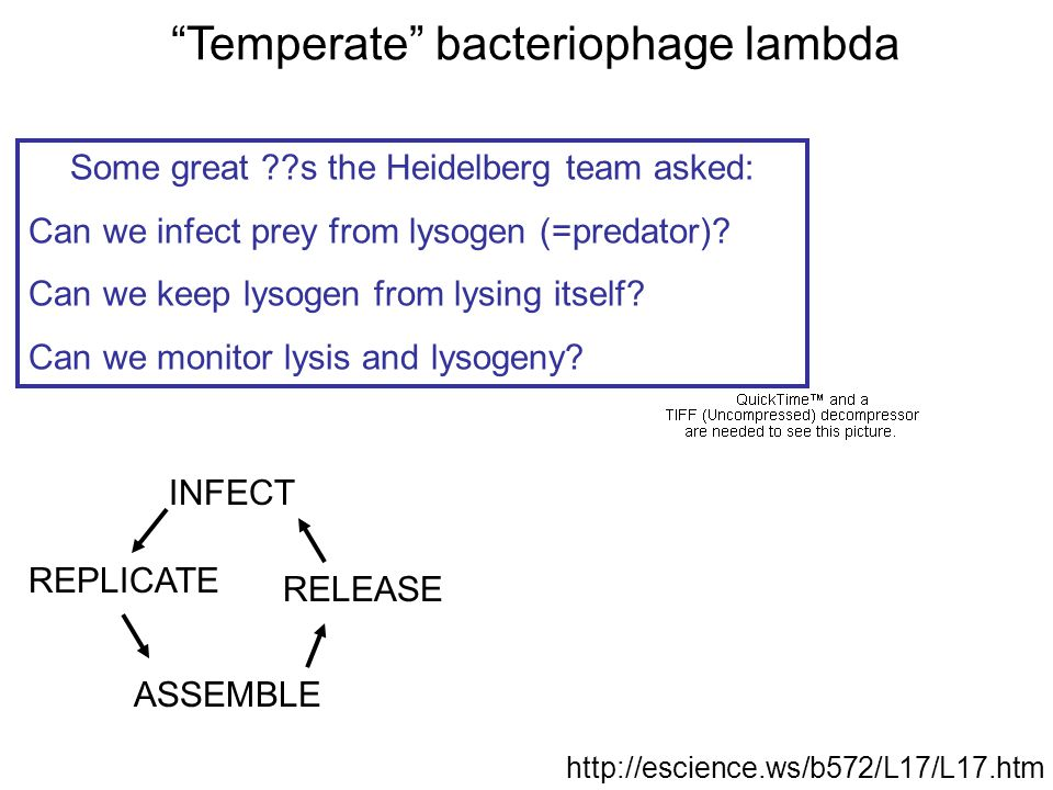 http://escience.ws/b572/L17/L17.htm INFECT REPLICATE ASSEMBLE RELEASE Temperate bacteriophage lambda Some great ??s the Heidelberg team asked: Can we infect prey from lysogen (=predator).