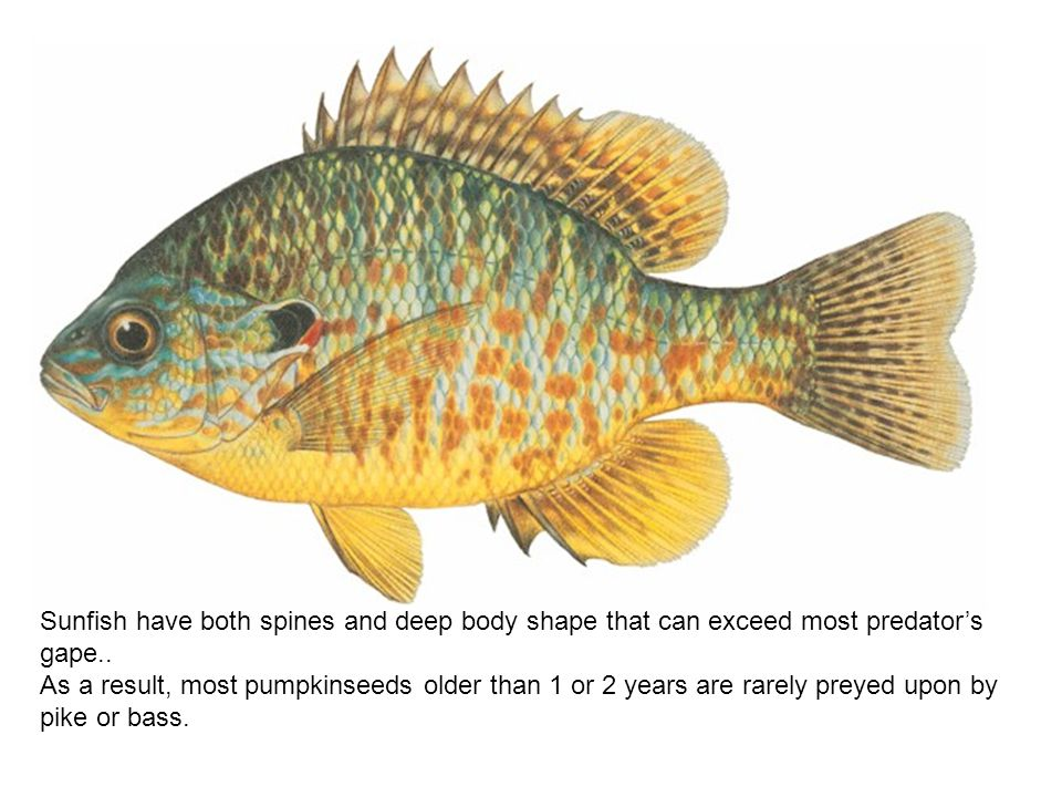 Sunfish have both spines and deep body shape that can exceed most predator's gape..