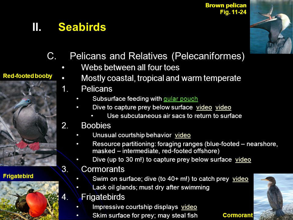 II. II.Seabirds C. C.Pelicans and Relatives (Pelecaniformes) Webs between all four toes Mostly coastal, tropical and warm temperate 1. 1.Pelicans Subs