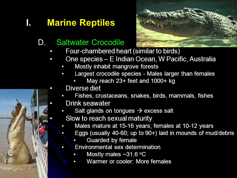 I. I.Marine Reptiles D. D.Saltwater Crocodile Four-chambered heart (similar to birds) One species – E Indian Ocean, W Pacific, Australia Mostly inhabi