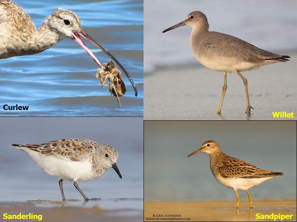II.II.Seabirds A. A.Shorebirds (Waders) Often ground-nesting 1.
