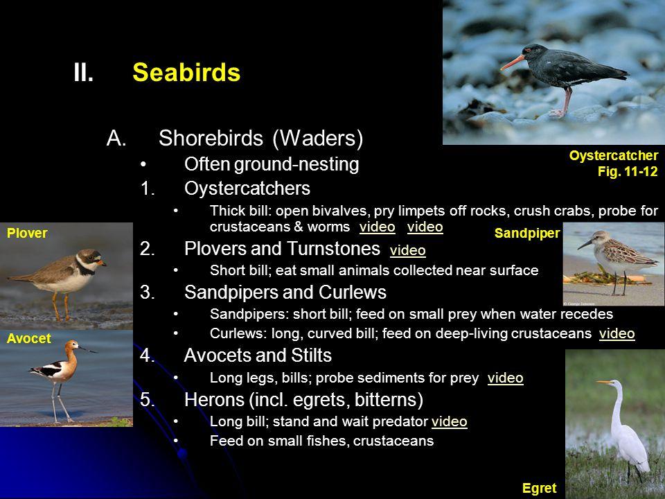 II.II.Seabirds B. B.Gulls and Relatives Global distribution, not always near ocean 1.