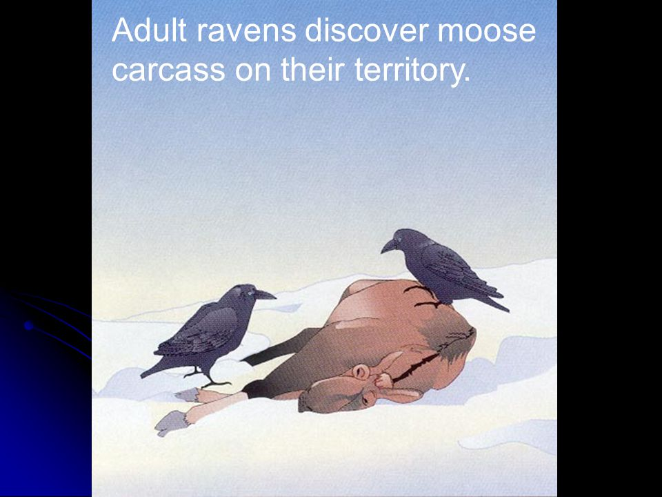 Adult ravens discover moose carcass on their territory.