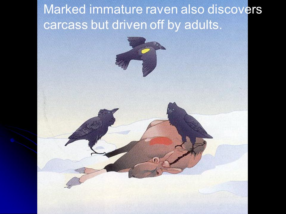 Marked immature raven also discovers carcass but driven off by adults.