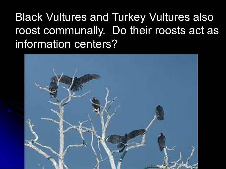 Black Vultures and Turkey Vultures also roost communally.