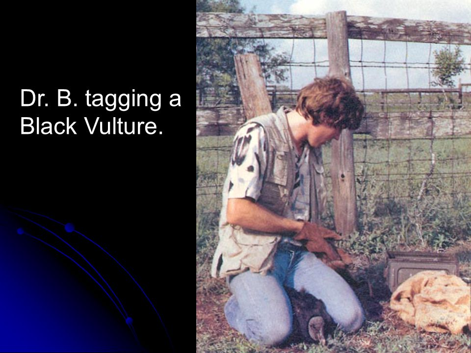 Dr. B. tagging a Black Vulture.