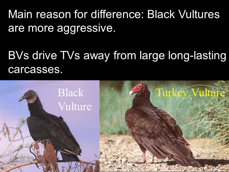 Black Vulture Turkey Vulture Main reason for difference: Black Vultures are more aggressive.