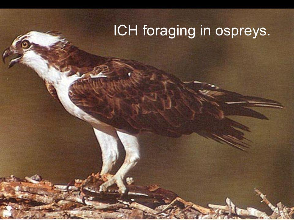 ICH foraging in ospreys.