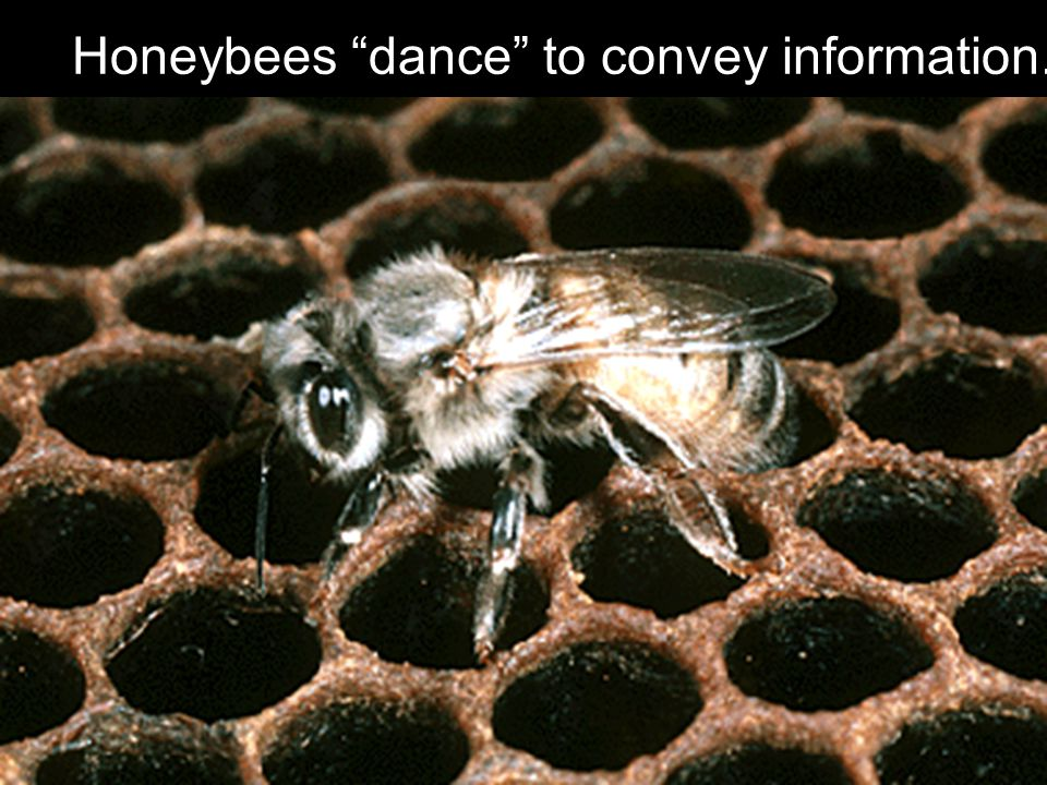 Honeybees dance to convey information.
