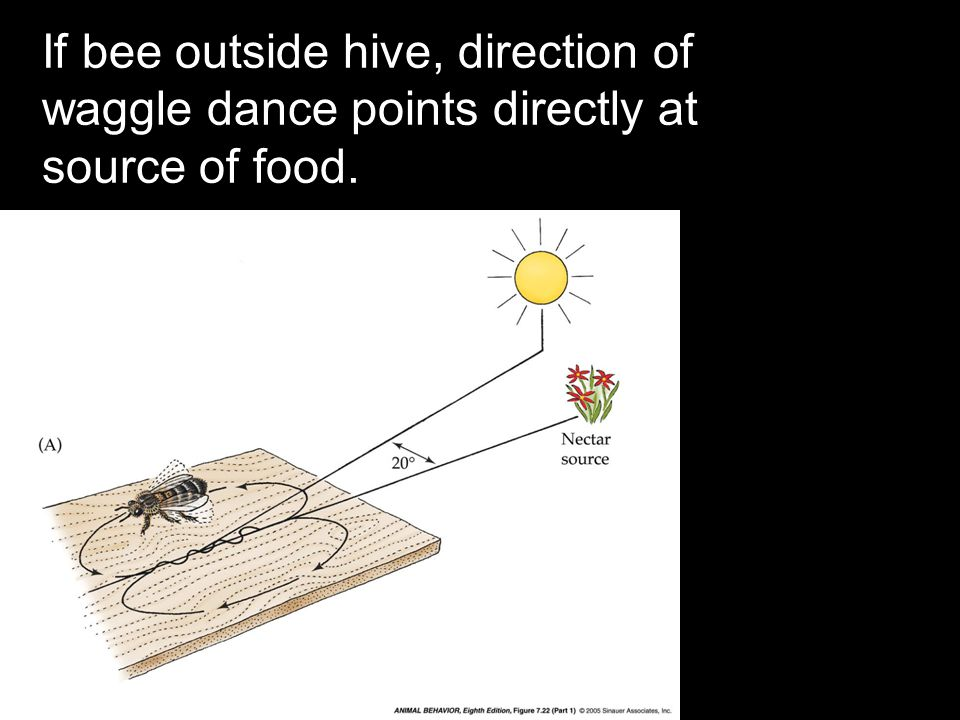 If bee outside hive, direction of waggle dance points directly at source of food.