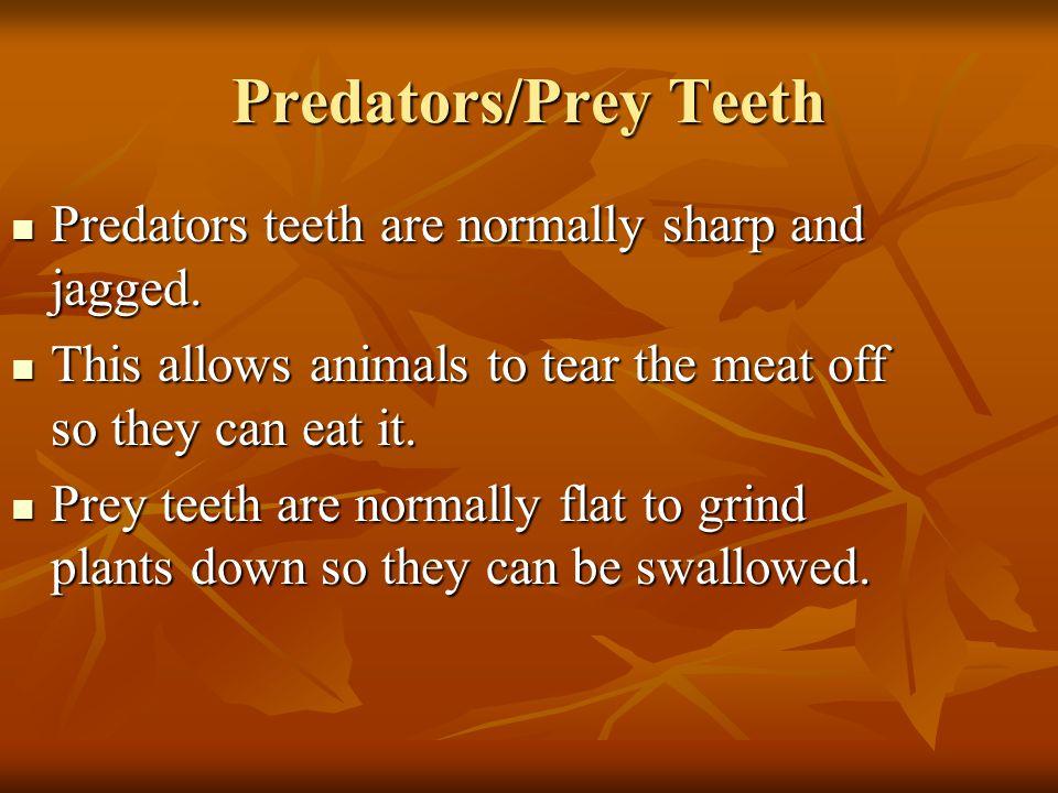 Predators/Prey Teeth Predators teeth are normally sharp and jagged.