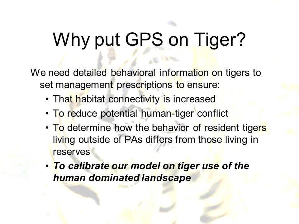 Why put GPS on Tiger? We need detailed behavioral information on tigers to set management prescriptions to ensure: That habitat connectivity is increa