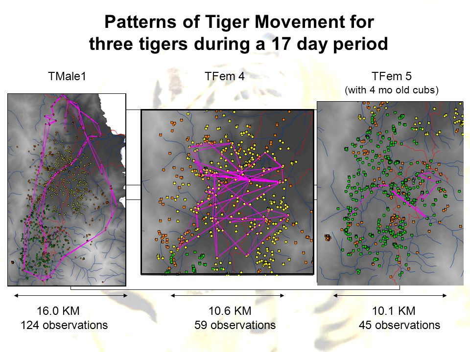Patterns of Tiger Movement for three tigers during a 17 day period TMale1TFem 4TFem 5 (with 4 mo old cubs) 16.0 KM 10.6 KM 10.1 KM 124 observations 59 observations 45 observations