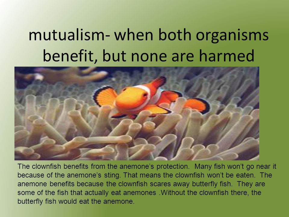 mutualism- when both organisms benefit, but none are harmed The clownfish benefits from the anemone's protection.