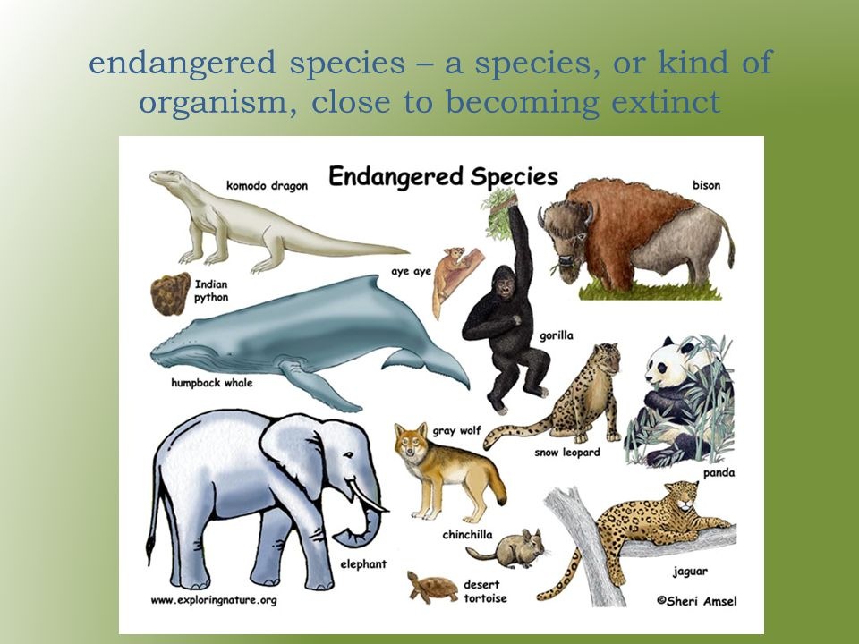 endangered species – a species, or kind of organism, close to becoming extinct