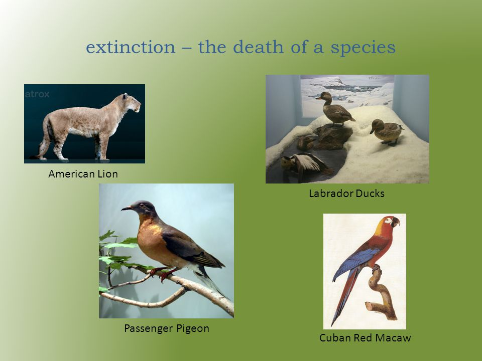 extinction – the death of a species American Lion Labrador Ducks Passenger Pigeon Cuban Red Macaw