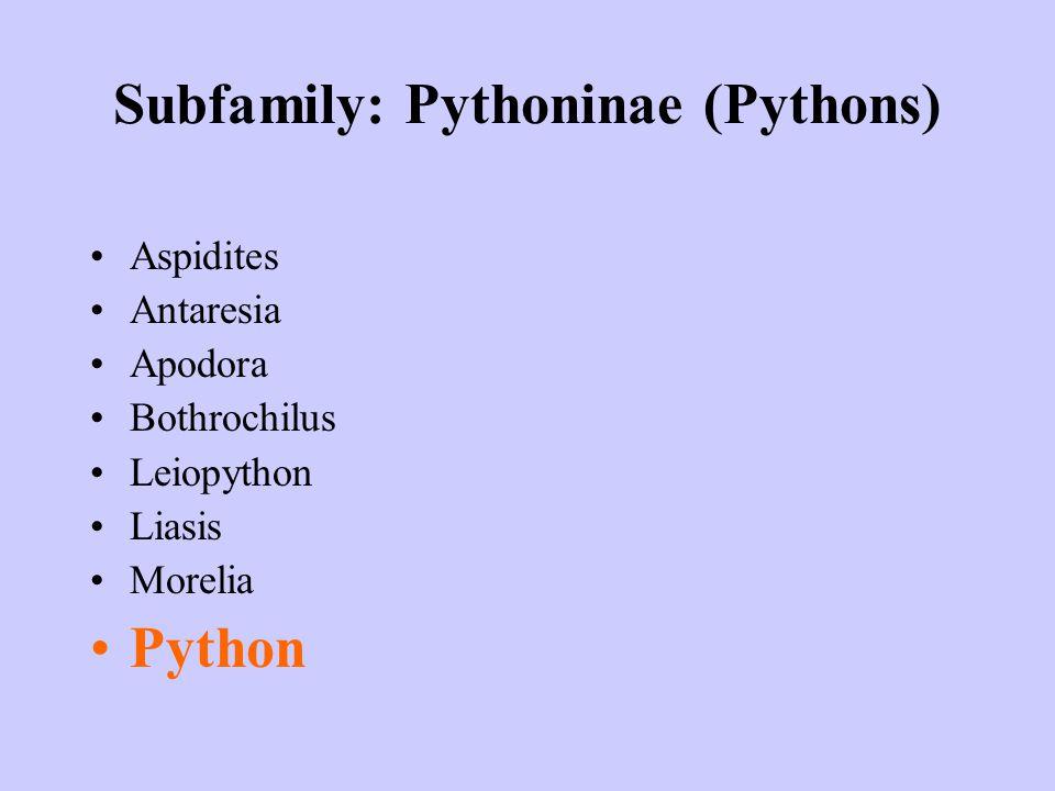 Subfamily: Pythoninae (Pythons) Aspidites Antaresia Apodora Bothrochilus Leiopython Liasis Morelia Python