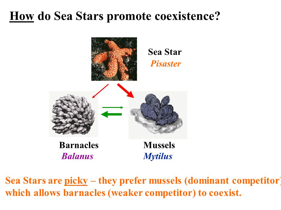 Barnacles Mussels Sea Star Pisaster Sea Stars are picky – they prefer mussels (dominant competitor), which allows barnacles (weaker competitor) to coexist.