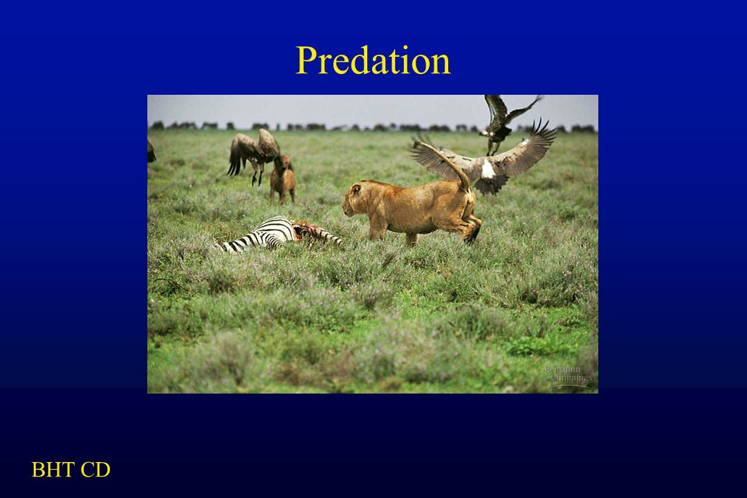 Predation BHT CD