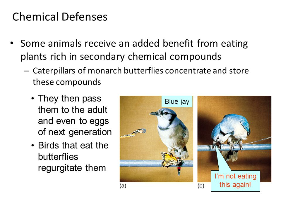 Some animals receive an added benefit from eating plants rich in secondary chemical compounds – Caterpillars of monarch butterflies concentrate and store these compounds Chemical Defenses They then pass them to the adult and even to eggs of next generation Birds that eat the butterflies regurgitate them Blue jay I'm not eating this again!