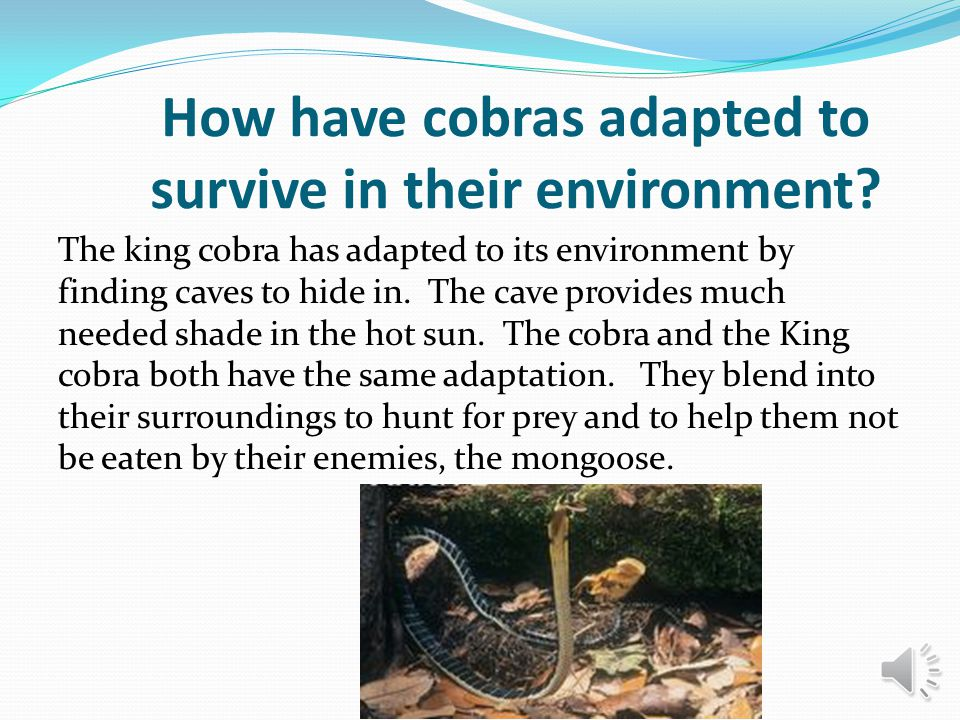 How have cobras adapted to survive in their environment? The king cobra has adapted to its environment by finding caves to hide in. The cave provides