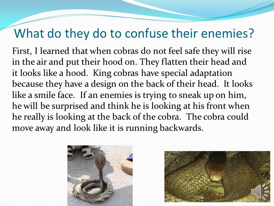 What do they do to confuse their enemies? First, I learned that when cobras do not feel safe they will rise in the air and put their hood on. They fla