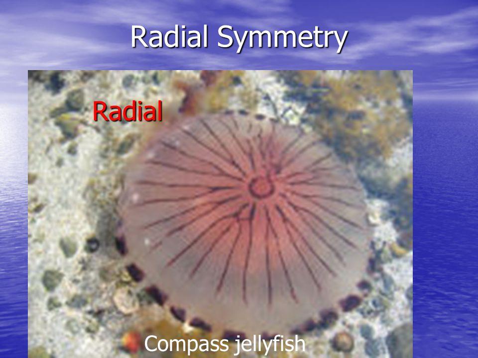 Radial Symmetry Compass jellyfish Radial