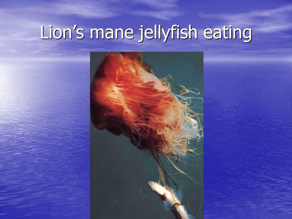 Lion's mane jellyfish eating