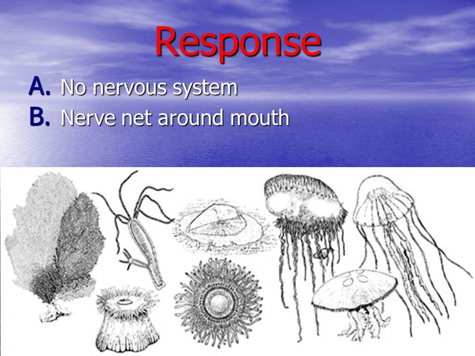 Response A. No nervous system B. Nerve net around mouth