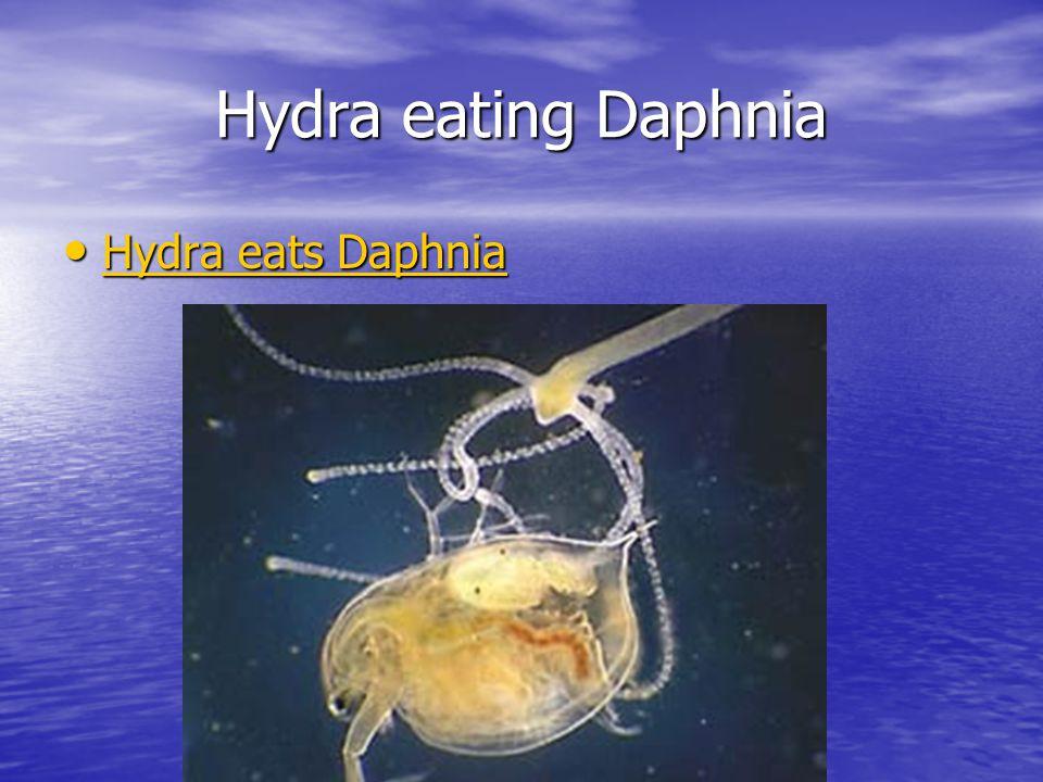 Hydra eating Daphnia Hydra eats Daphnia Hydra eats Daphnia Hydra eats Daphnia Hydra eats Daphnia