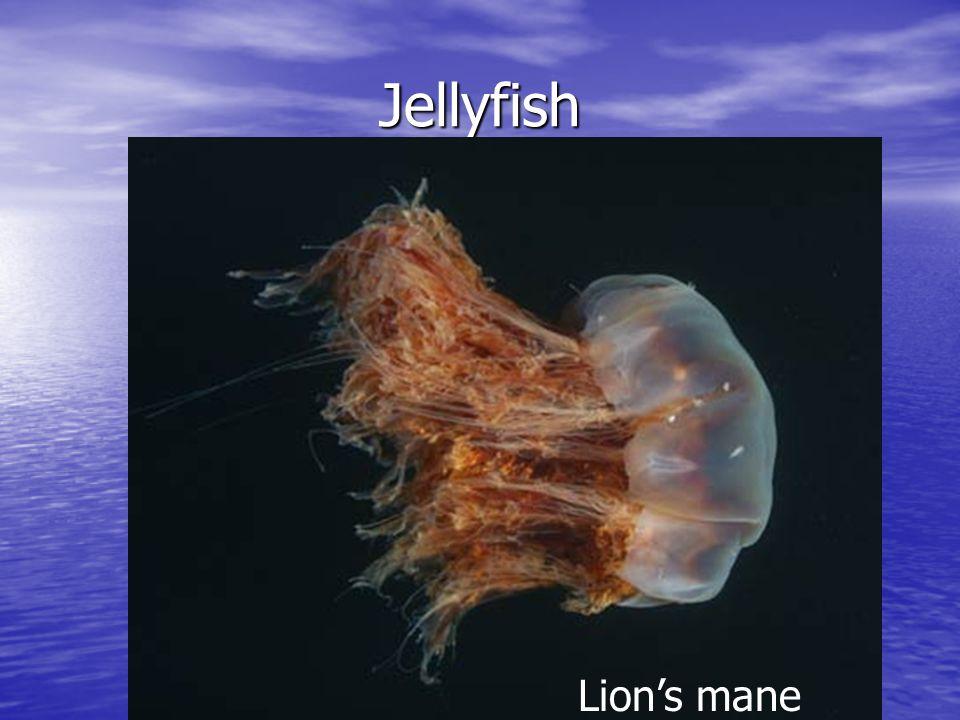 Jellyfish Lion's mane